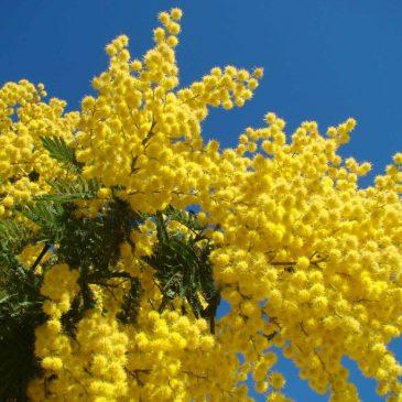 La festa della donna – dlaczego mimosa jest symbolem Dnia Kobiet weWłoszech?